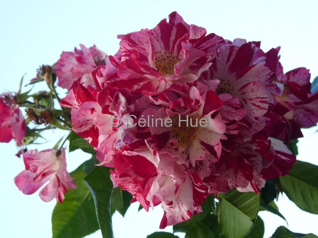 Roses Dinan Bretagne