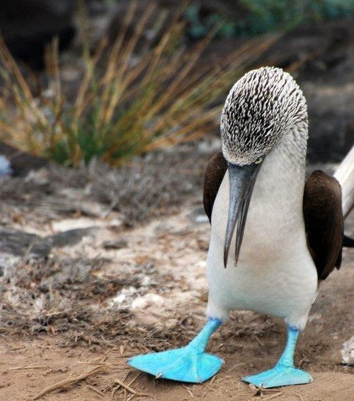 Oiseau aux pieds bleu