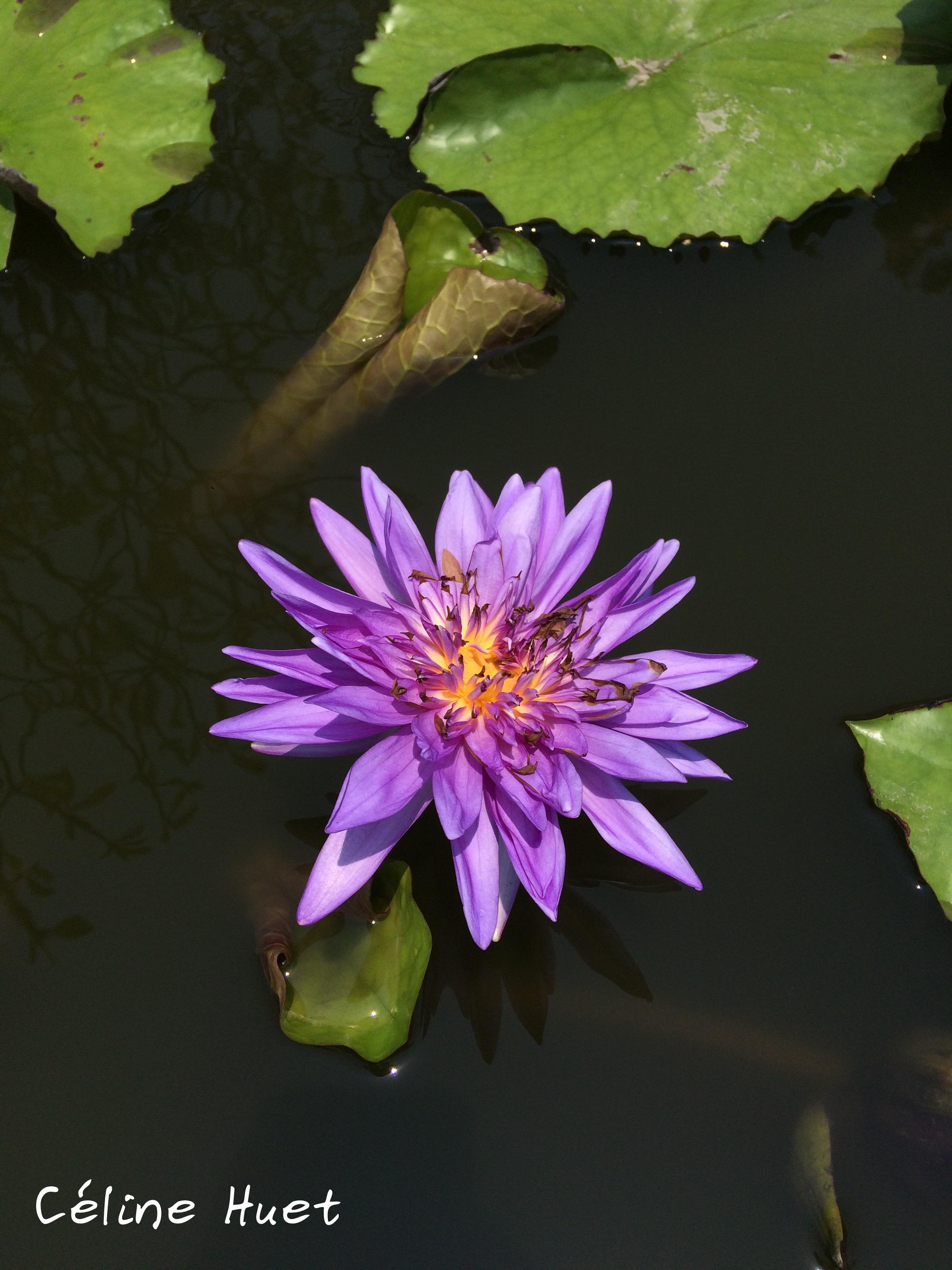 Lotus Blossom Bangkok Thailand Asia