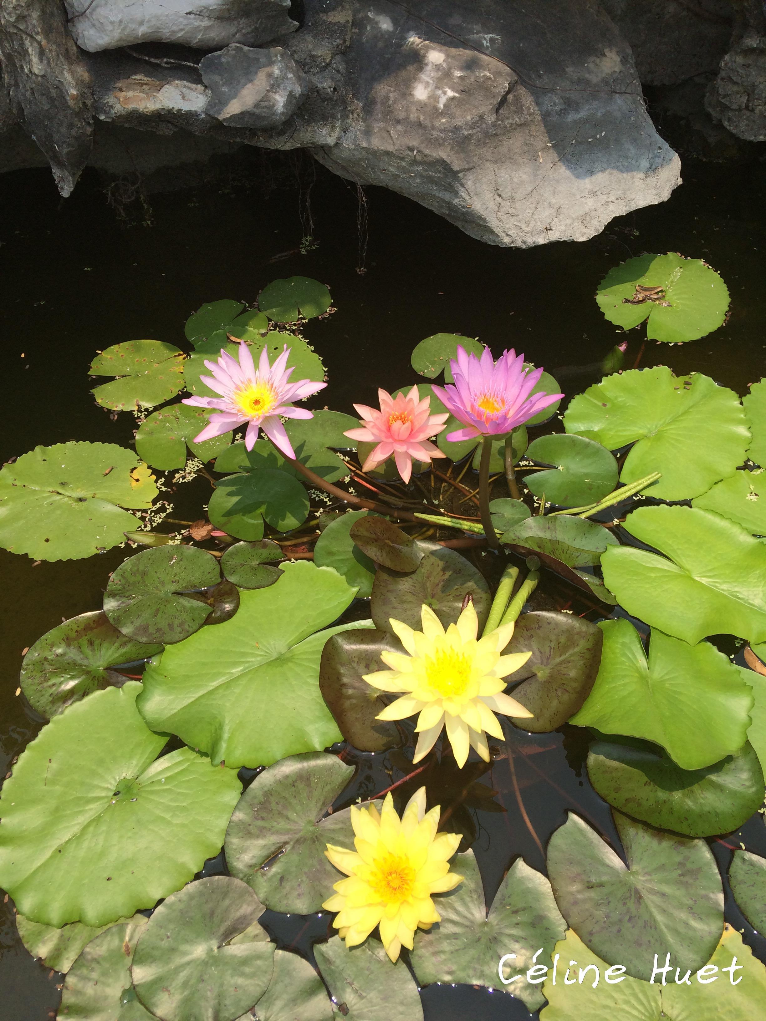 Fleurs de Lotus Montagnes de marbre Da Nang Vietnam Asie