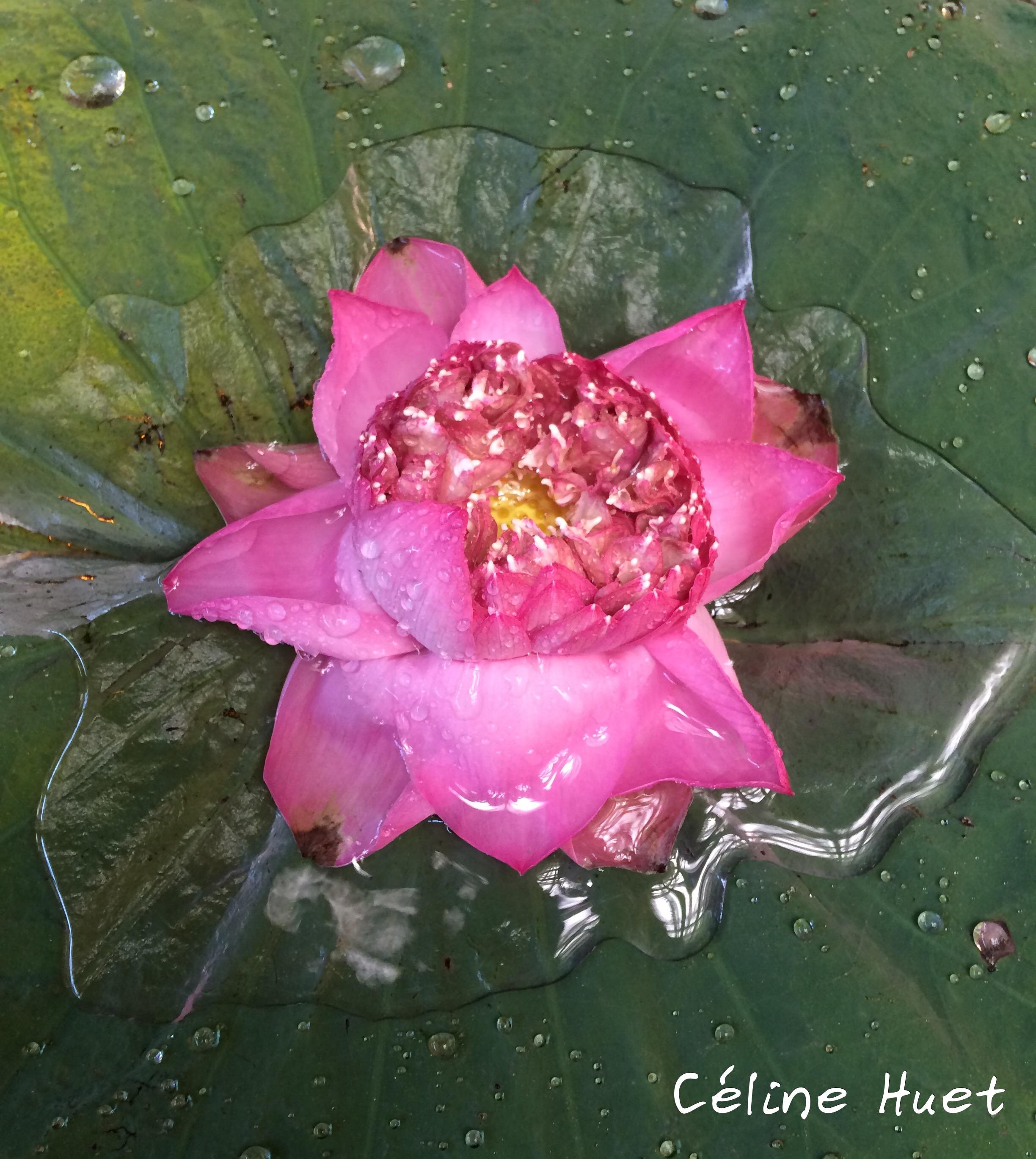 Fleur de lotus Mandarin Oriental Bangkok Thaïlande Asie