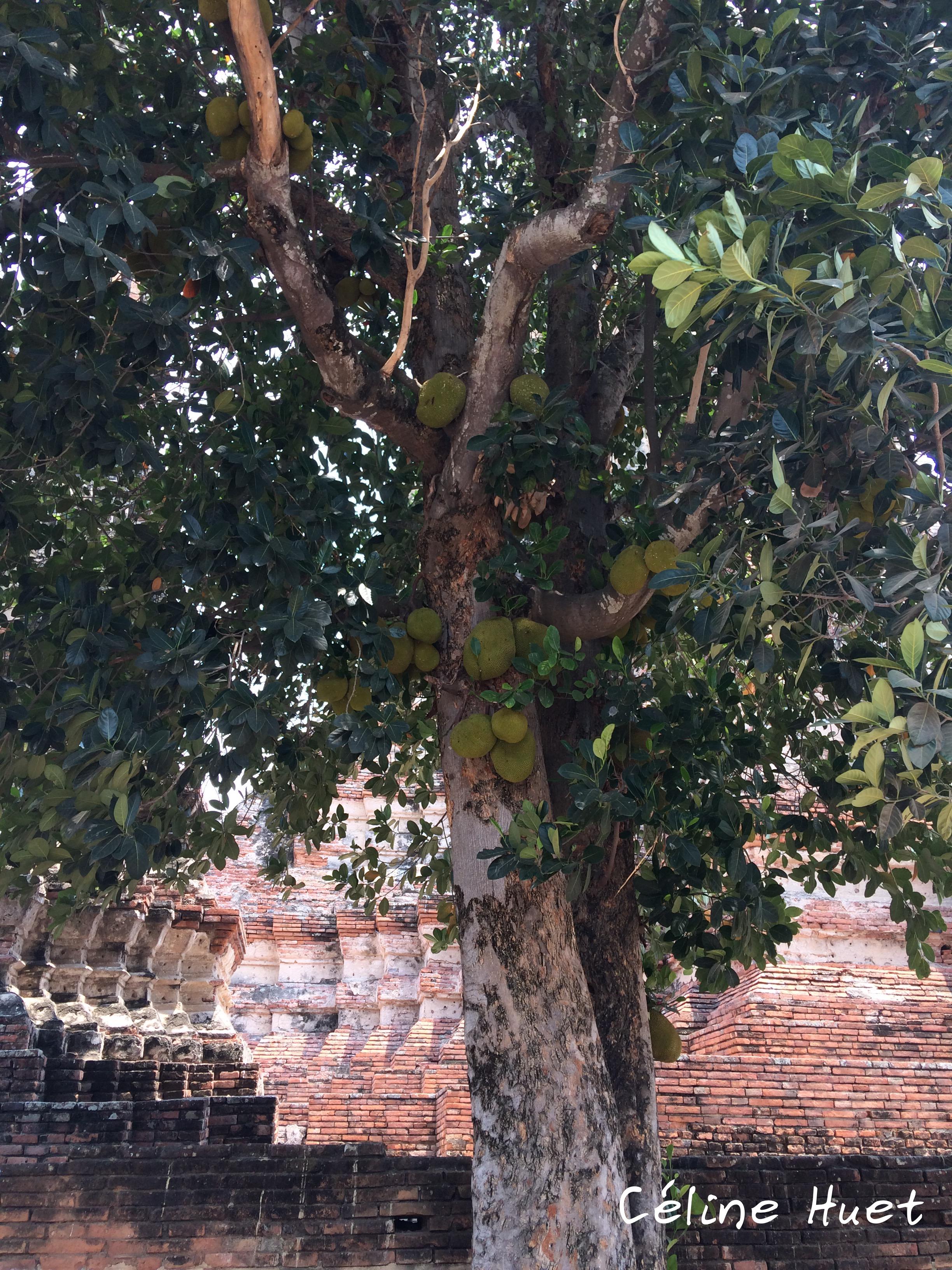 Jacquier Durian Wat Chai Watthanaram Ayutthaya Thaïlande Asie