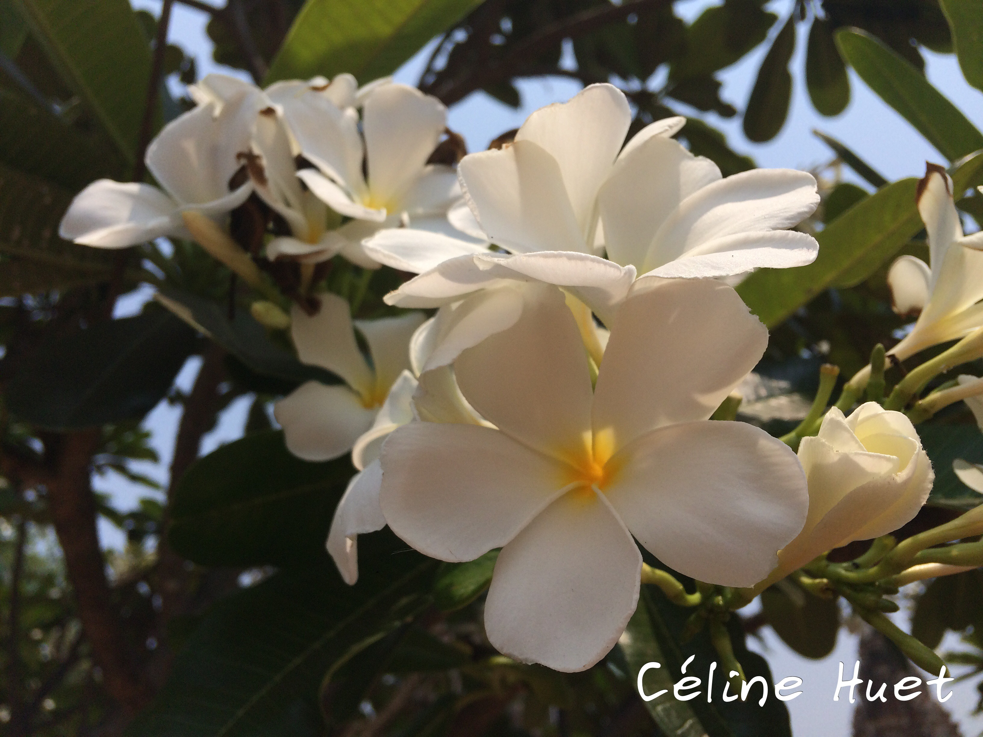 Fleurs de frangipanier Wat Chai Watthanaram Ayutthaya Thaïlande Asie