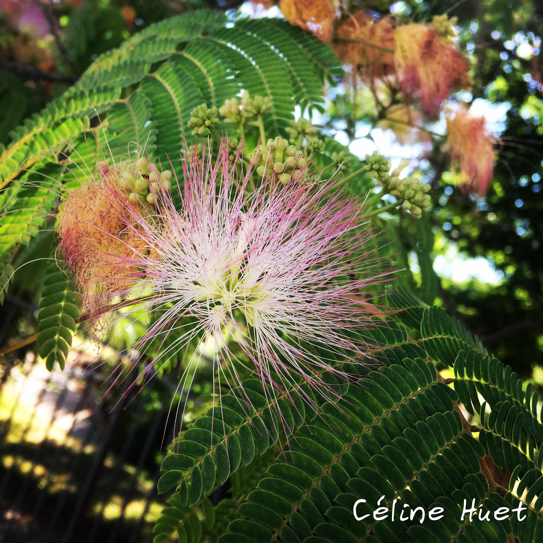 Fleur Albizia Jardin des Plantes Paris