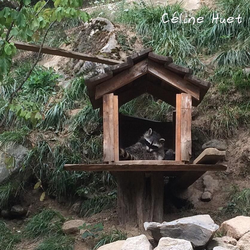 Raton laveur Parc animalier Argelès-Gazost Pyrénées France