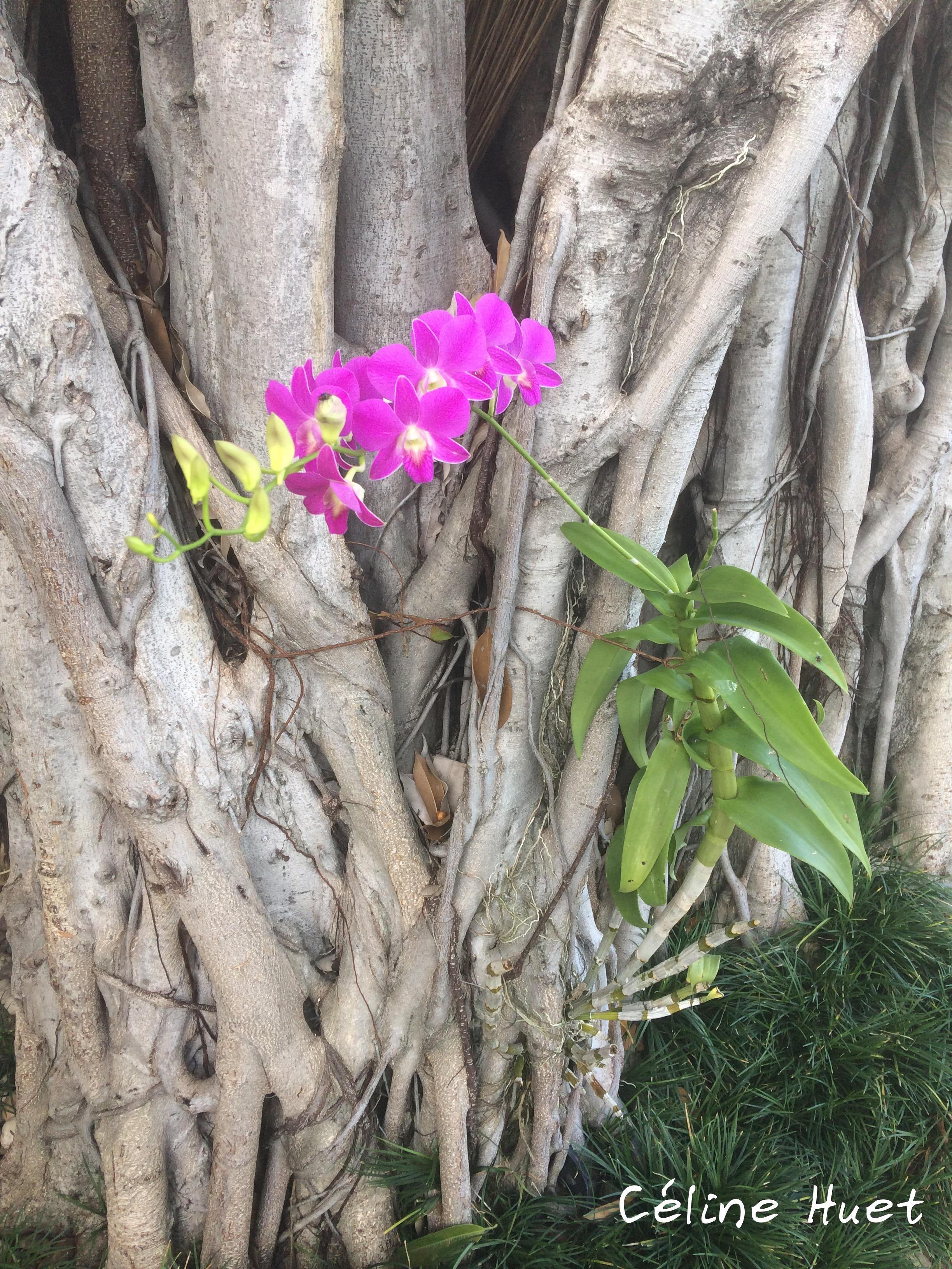 Orchidée Bangkok Thaïlande Asie
