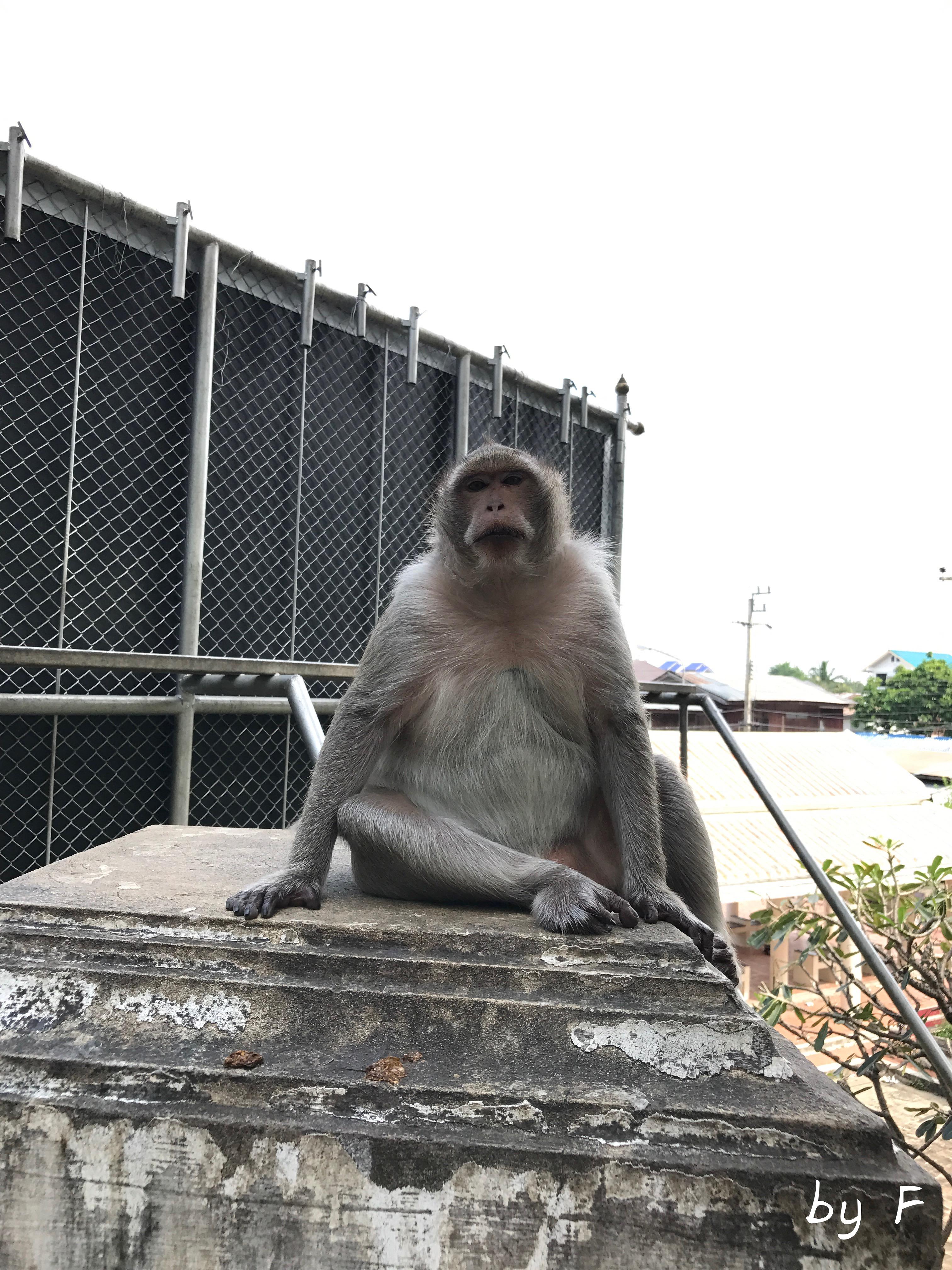 Singe Petchaburi Thaïlande Asie