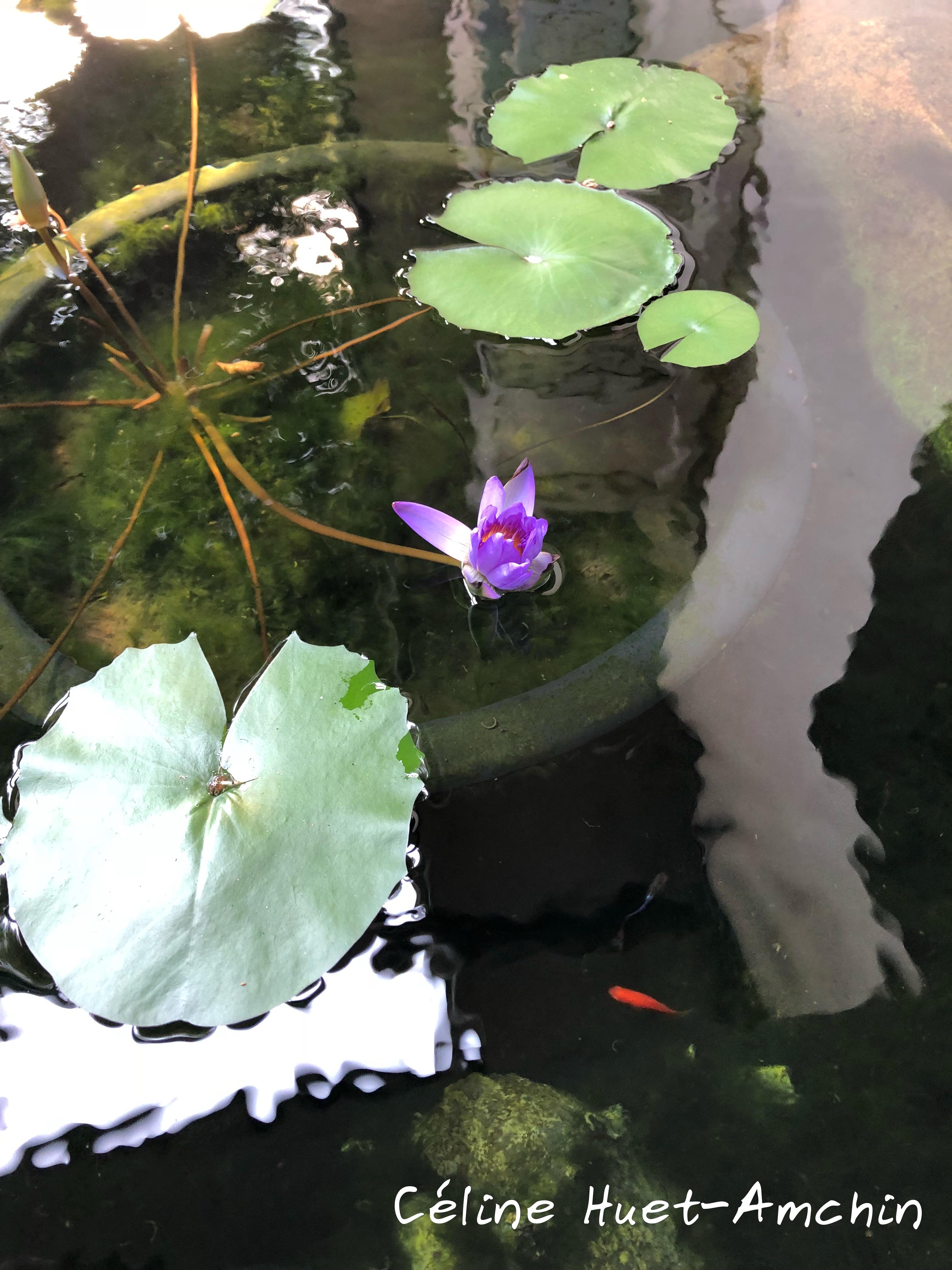 Waterlili Bangkok Thaïlande Asie
