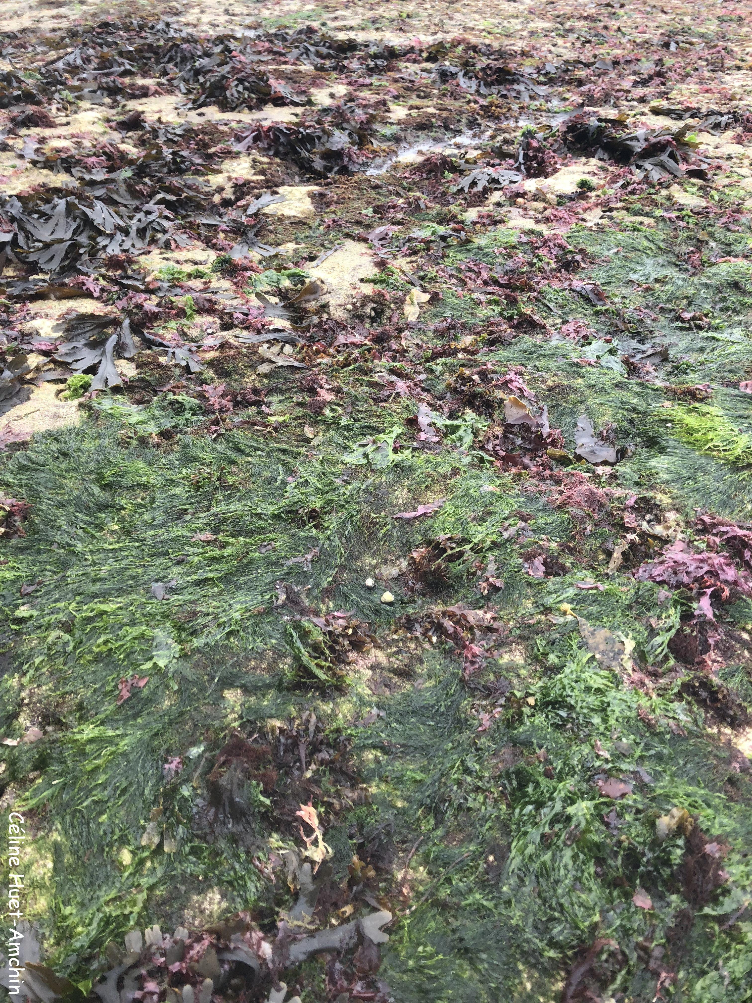 Algues et mousses Etretat Normandie
