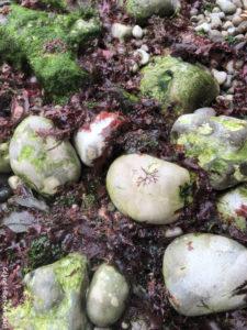 Mousse, algues et galets Etretat Normandie