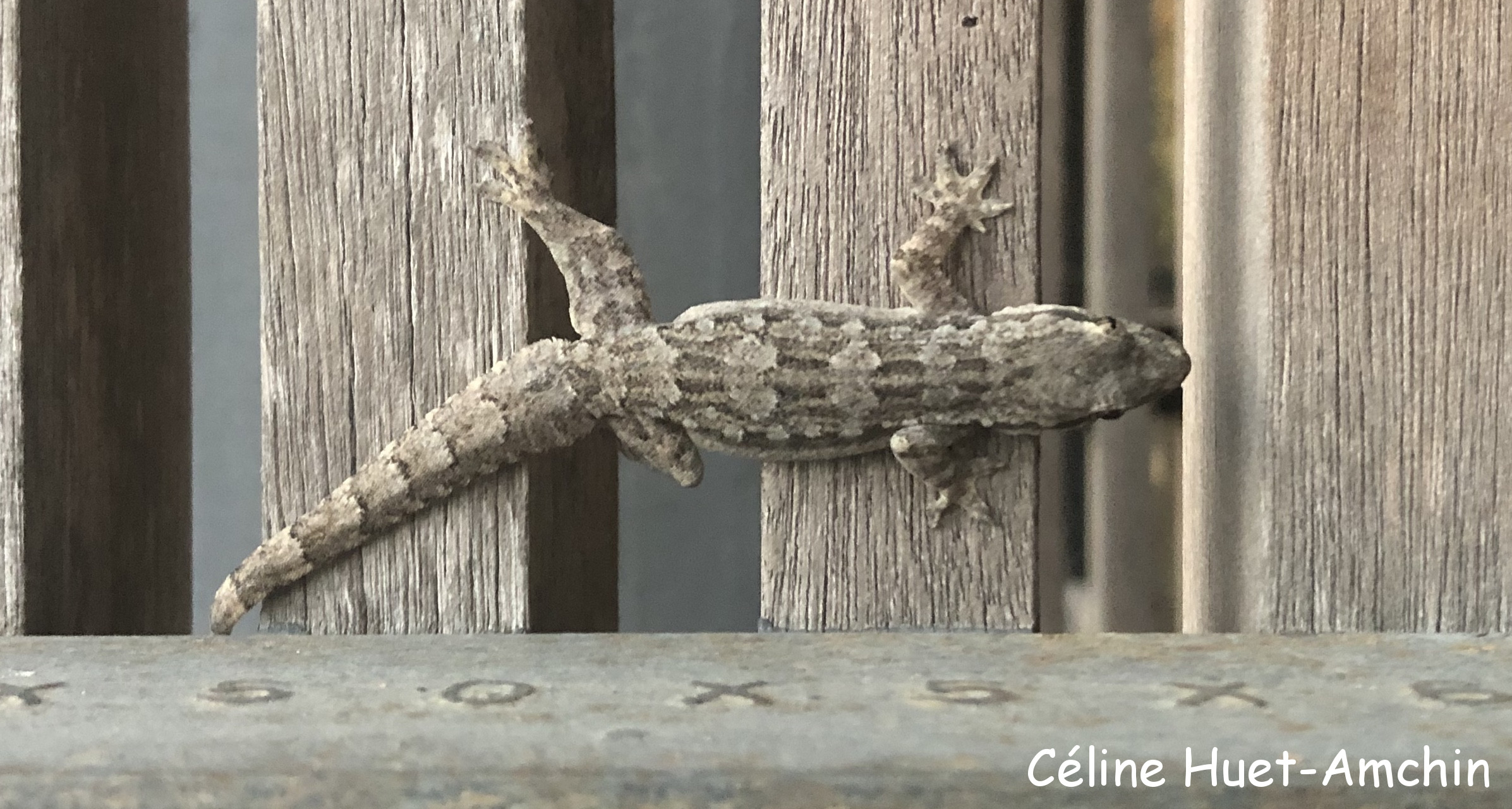 Gecko Chiang Mai Hang Dong Thaïlande Asie