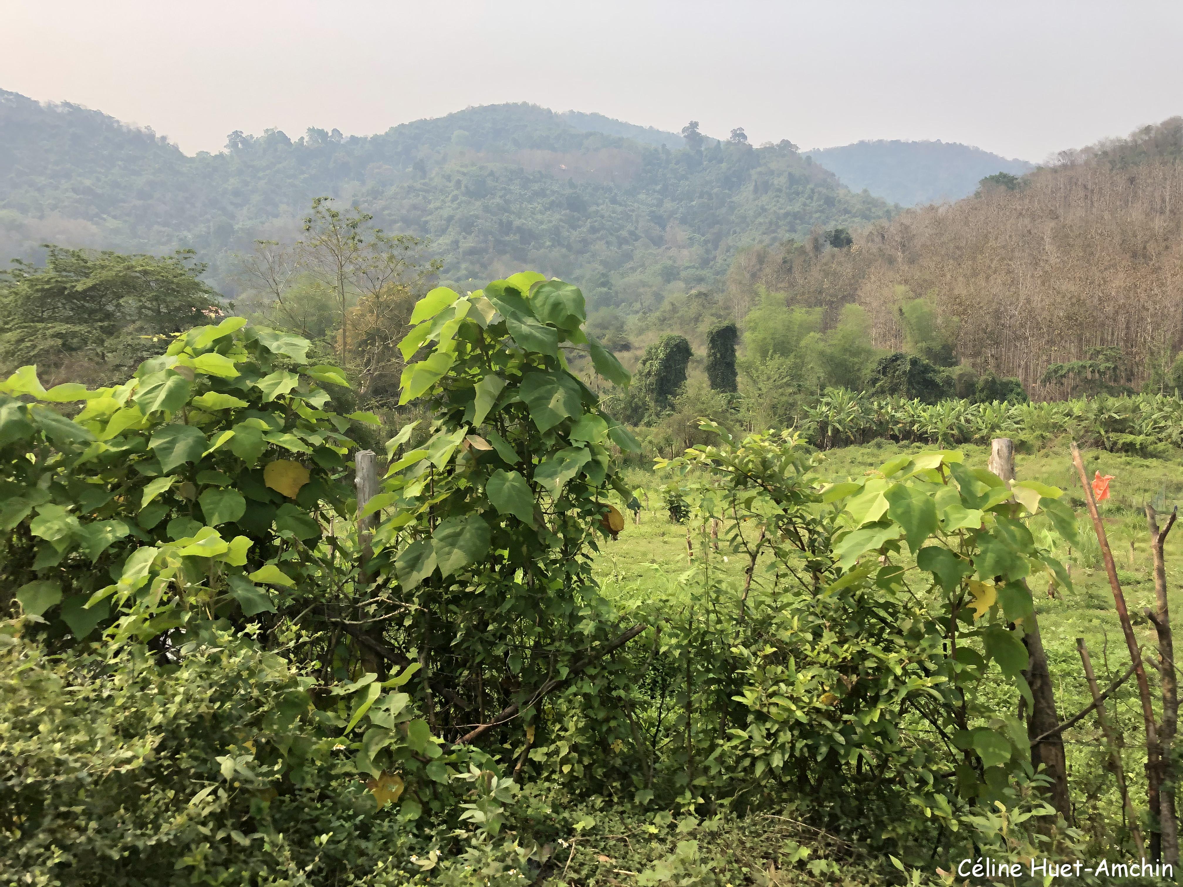 Sur la route entre Luang Prabang et Kuang Si Laos Asie