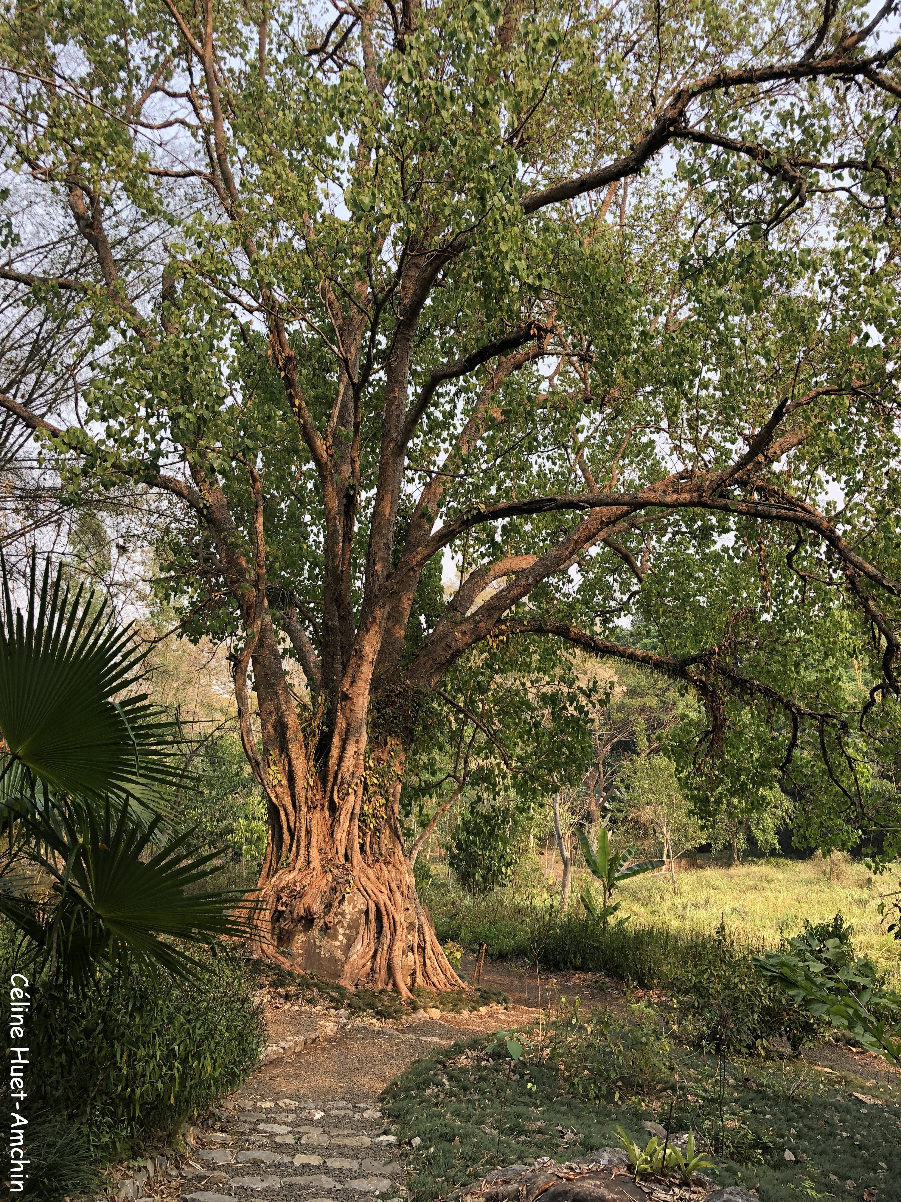 Buddha Tree Pha Tad Ke Botanical Garden Laos Asie