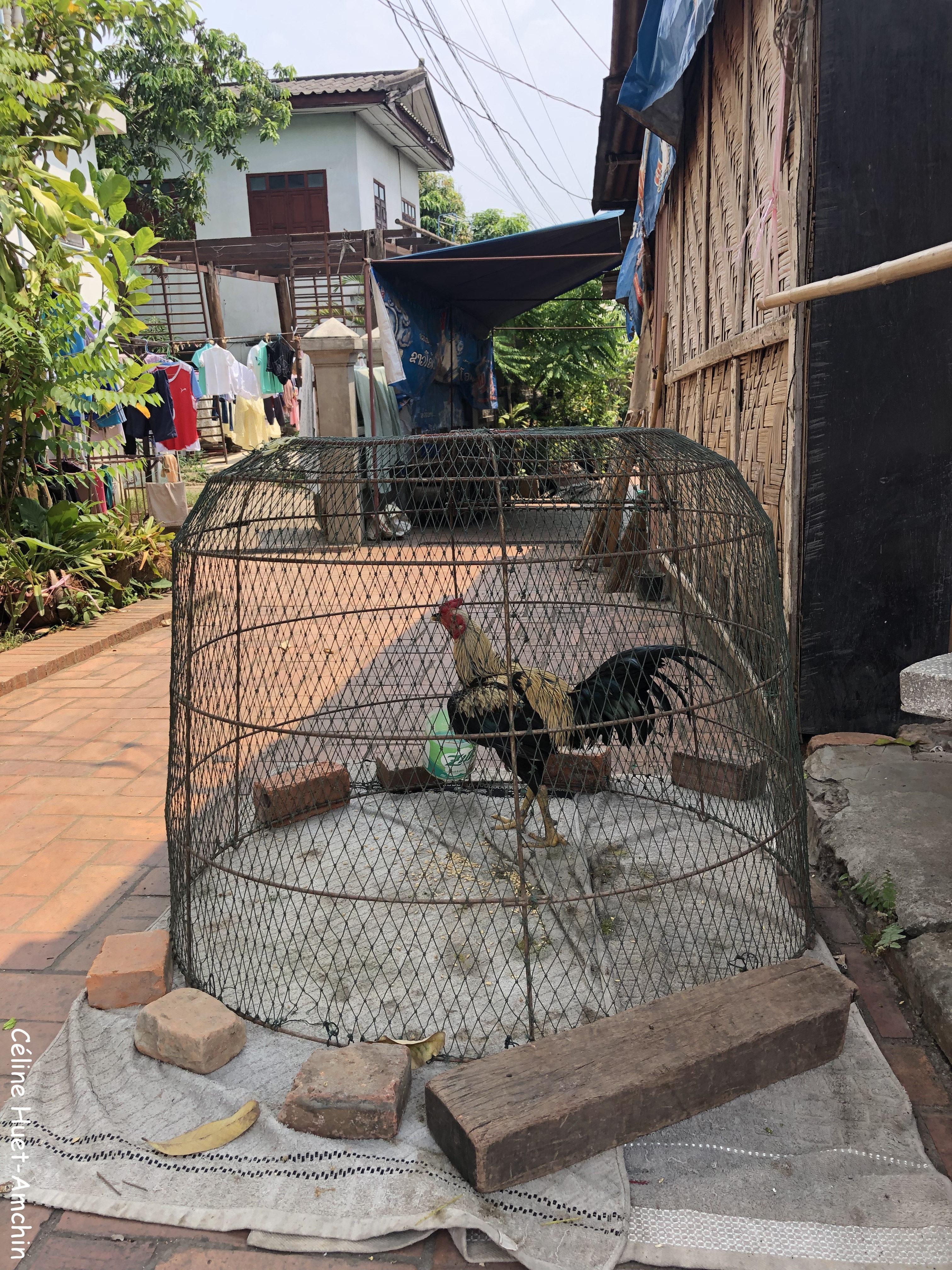 Coq Luang Prabang Laos Asie