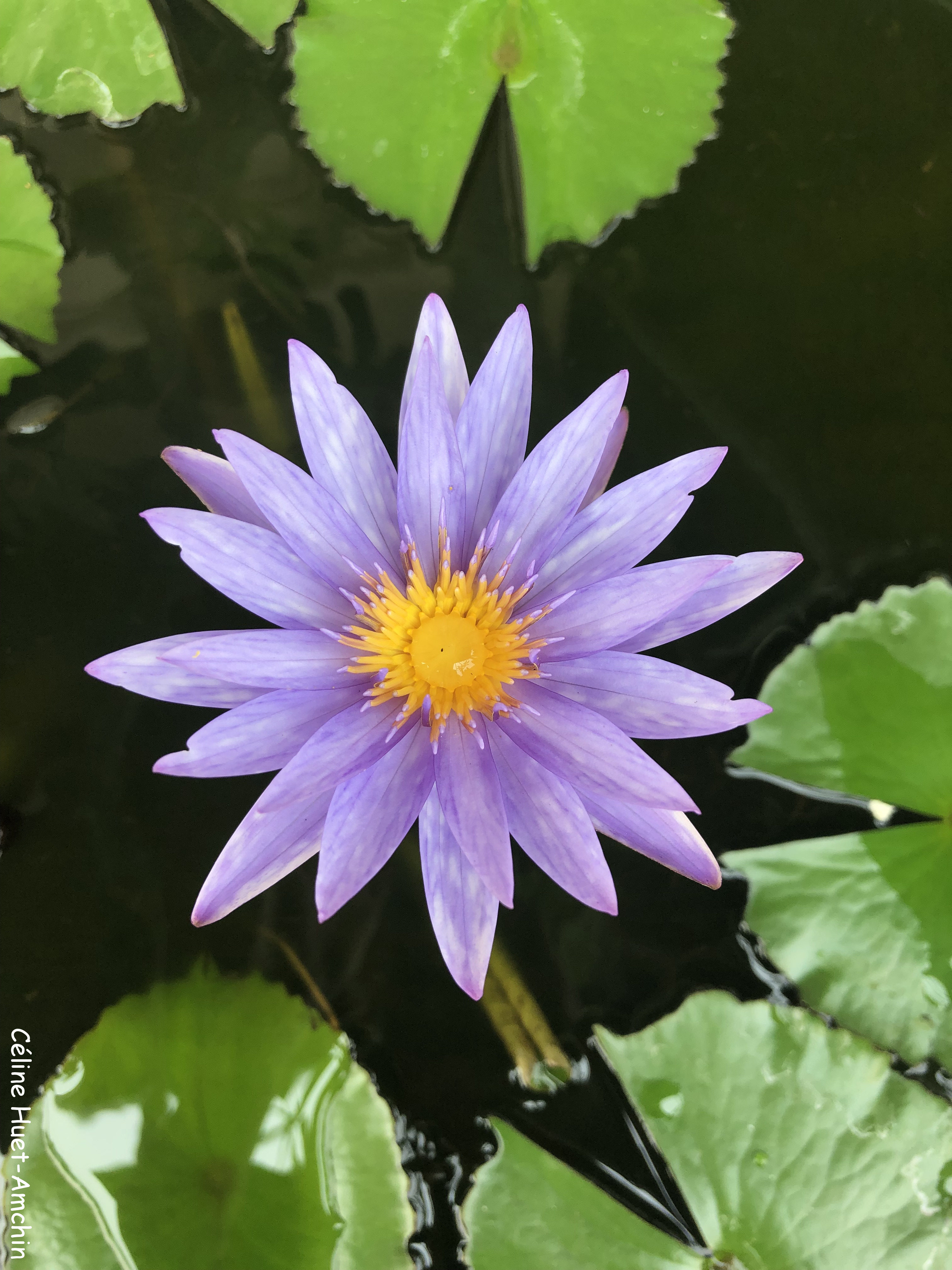 Fleur de lotus province de Chiang Mai Thaïlande Asie