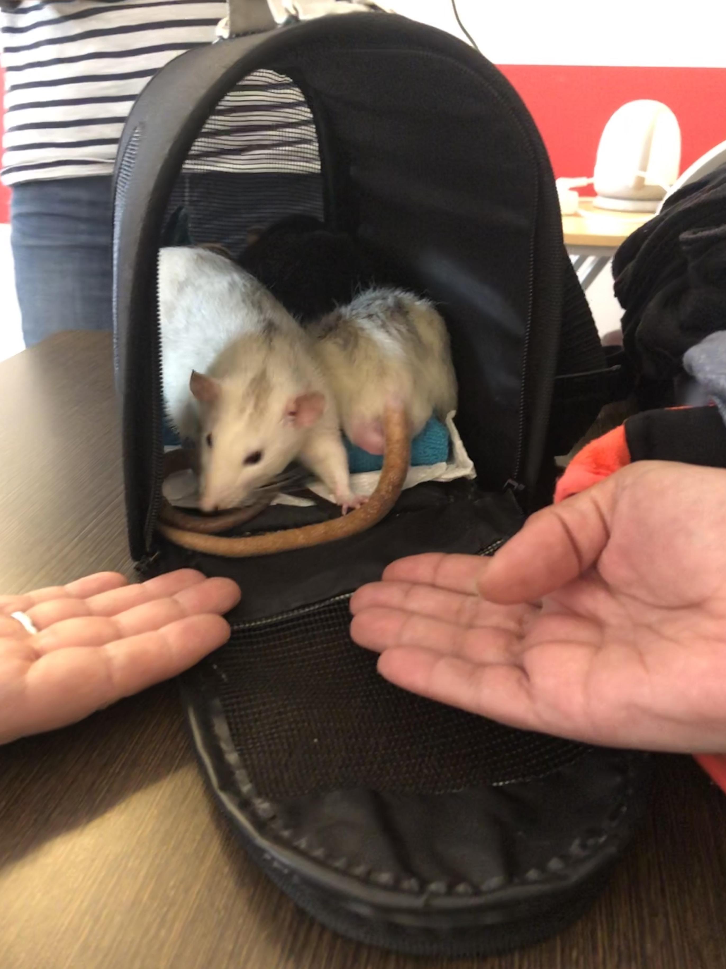 Rats adorables